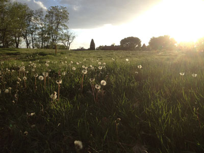 sunset-dandelions